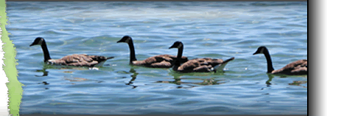 Canadian Geese Image